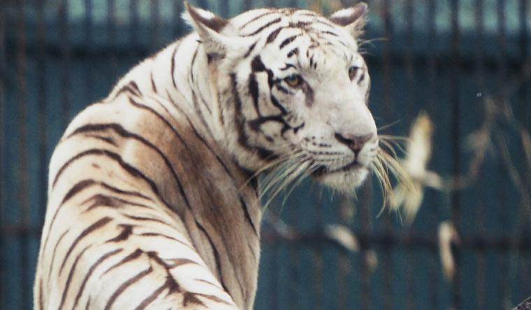 white-tiger1
