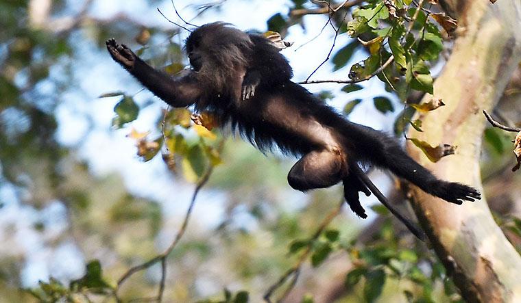 macaque-11