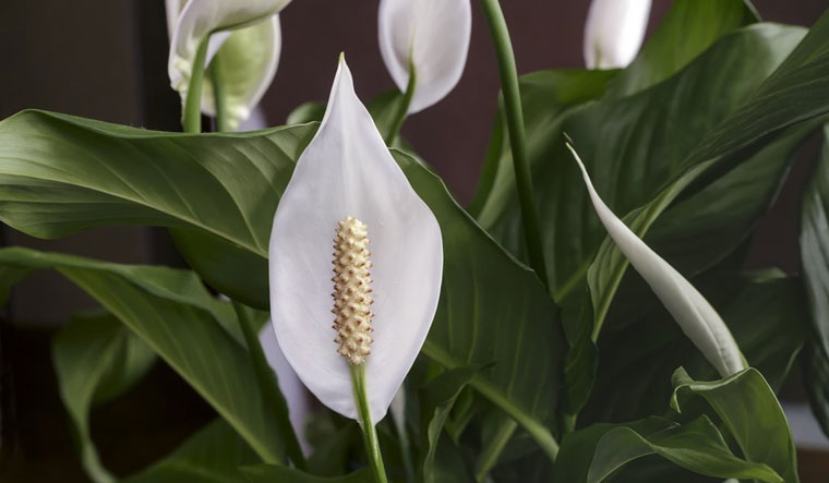 7 reasons you need a peace lily plant in your home