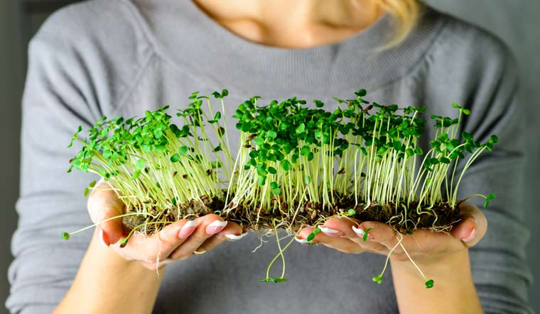 Microgreens: Grow your own food by the kitchen window