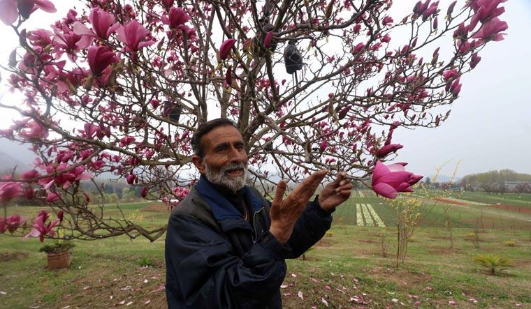 tulip-tree-kashmir