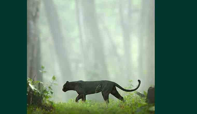 panther-shaaz-jung