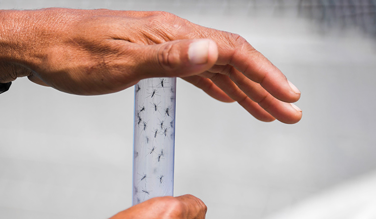 BRAZIL-DENGUE-INFECTED-MOSQUITOES-RELEASE
