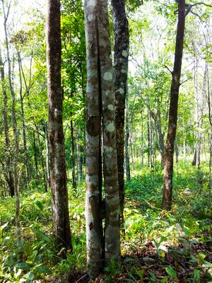 Aquilaria agallocha trees in Assam | Krishnaraj Iyengar