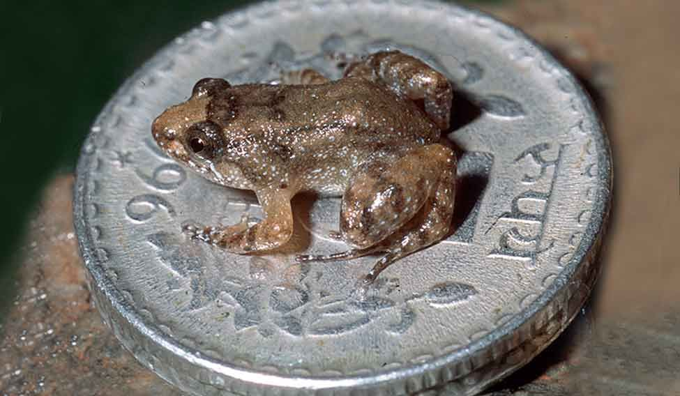 75thesmallestIndianfrog