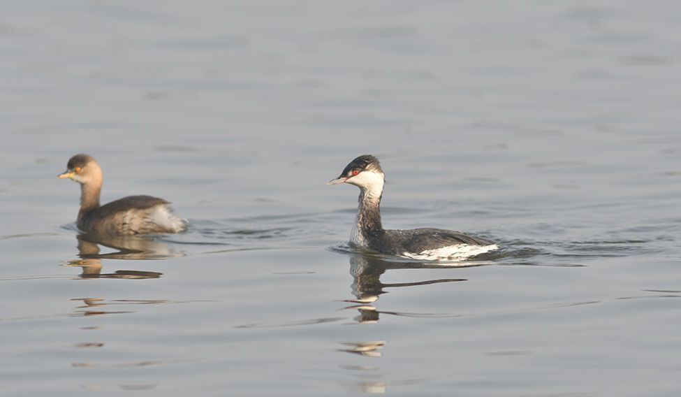 16-a-horned-grebe-week