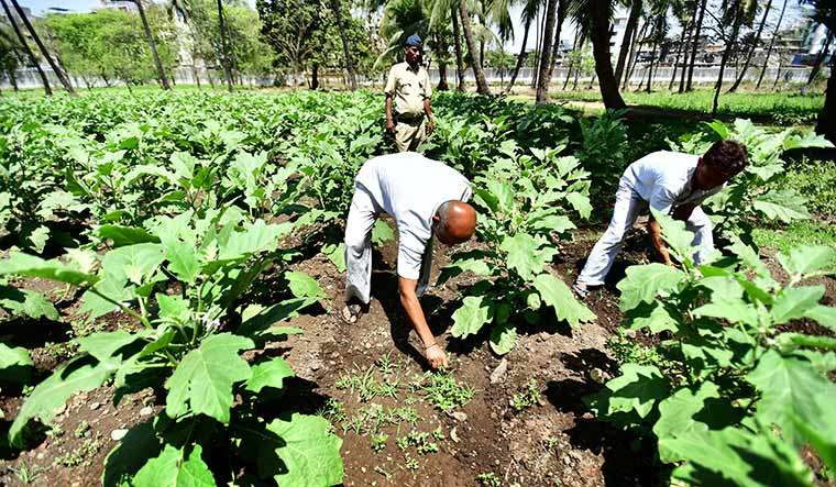 Green thumb: Prisoners tending brinjal at the Thane Central Jail | Janak Bhat