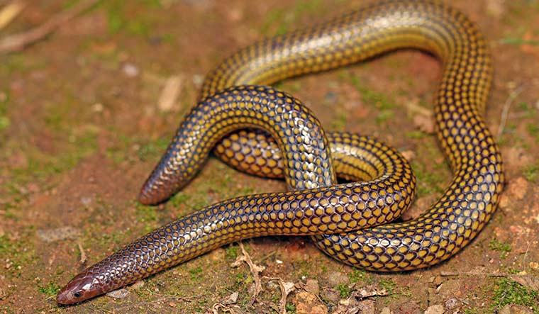 39-Golden-shieldtail