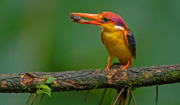 An oriental dwarf kingfisher with its dinner