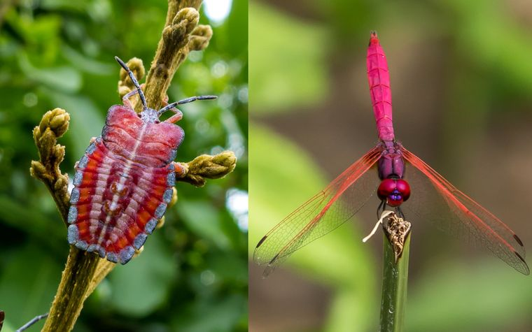 From left- Lychee bug by Venkat; Crimson marsh glider by Venkat