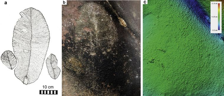 An interpretive sketch (a), a photograph (b), and a false-colour elevation model from photogrammetry (c) of Dickinsonia