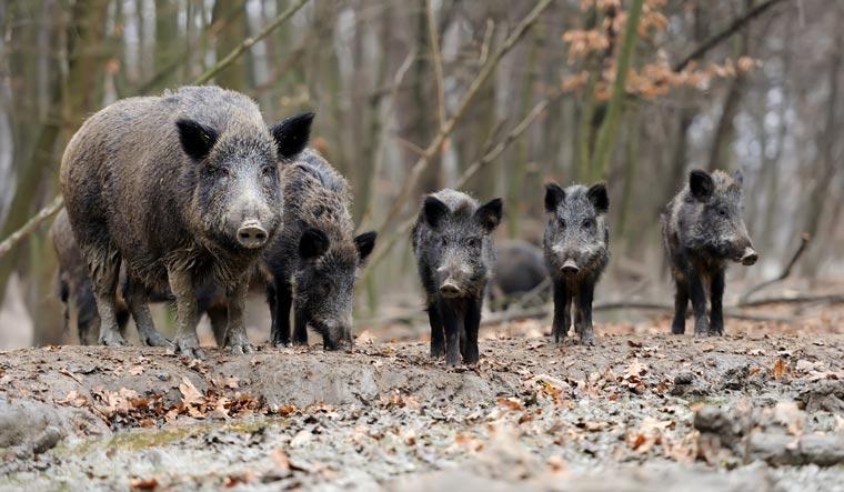 Wild-boars-wild-feral-pigs-boar-swine-hogs-razorbacks-shut