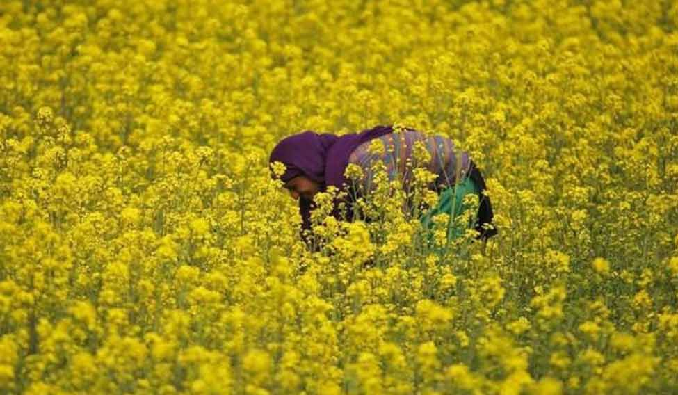 India's mustard output seen rising for the first time in 3 years