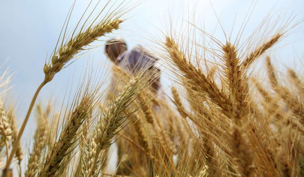 india-wheat-reuters