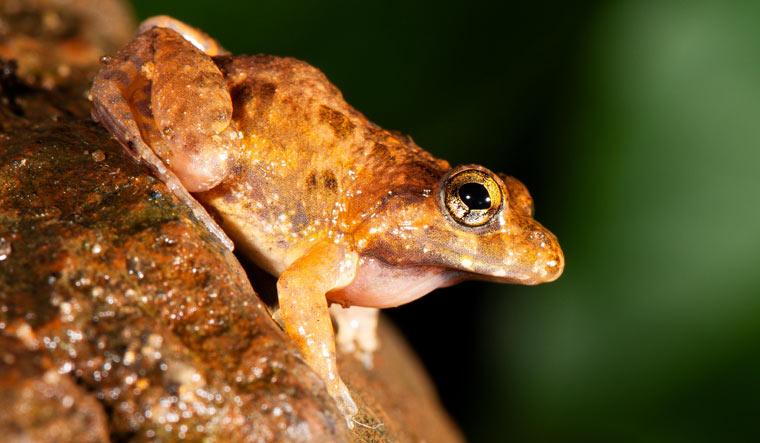 frog-Minervarya-Pentali