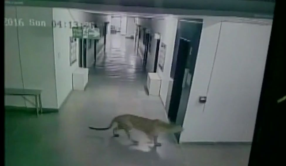 Leopard enters Bengaluru school, four injured