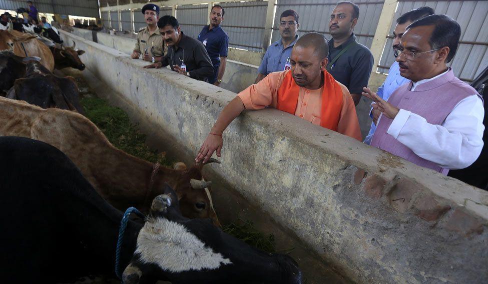 yogi-cows