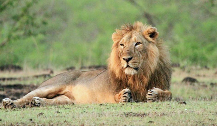 Gir lion deaths: 26 more big cats shifted to rescue centre - The Week