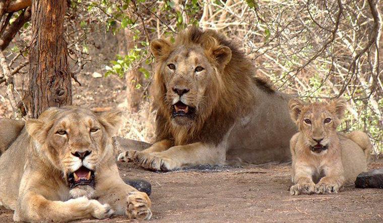 lions-gir-forest