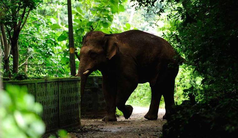 indian-elephant-asian