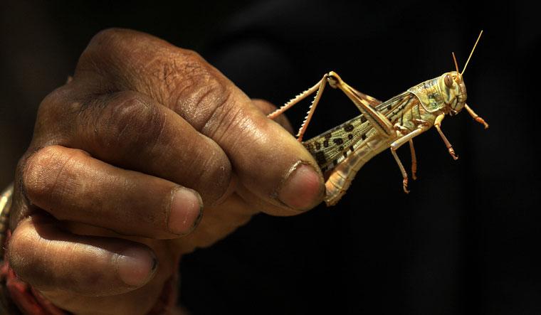 locust-jaipur-pti