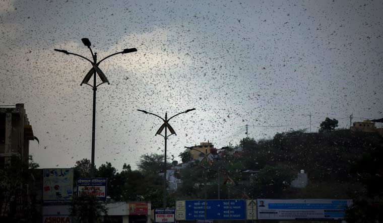 locusts-locust-swarm-sky-ajmer-AP