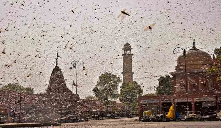 Govt weighs use of drones, planes to bring down locust swarms