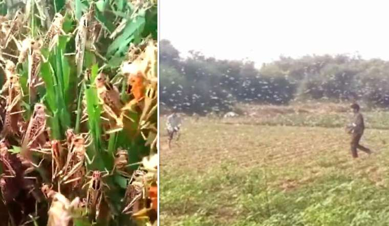 haryana-locust-attack