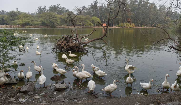 Ducks at Sanjay Lake in New Delhi | PTI