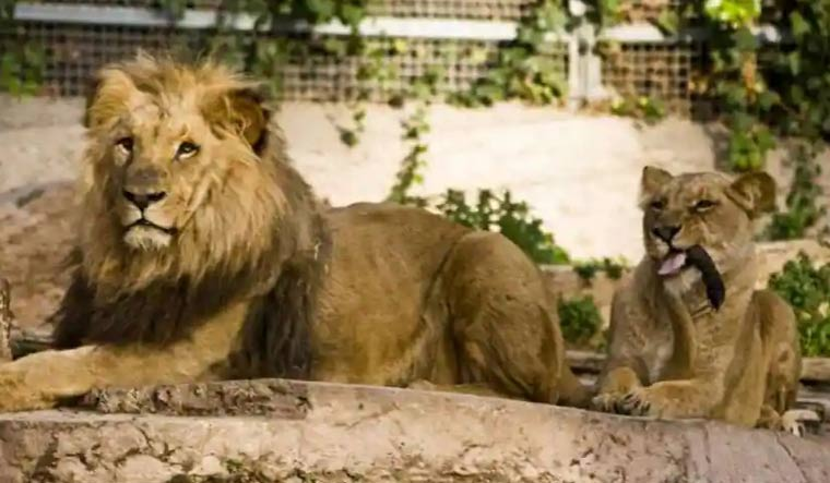 lion-chennai-zoo-reuters