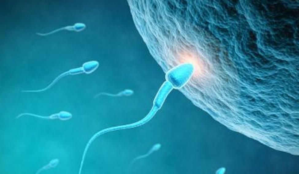 sperm-head-ferti