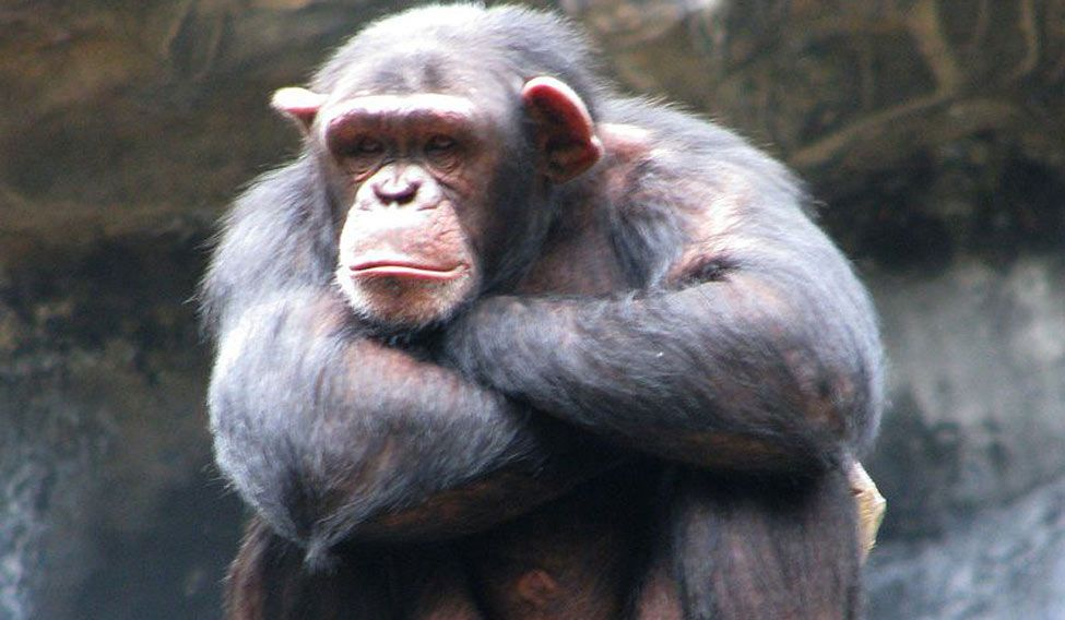 Apes may also understand what others are thinking
