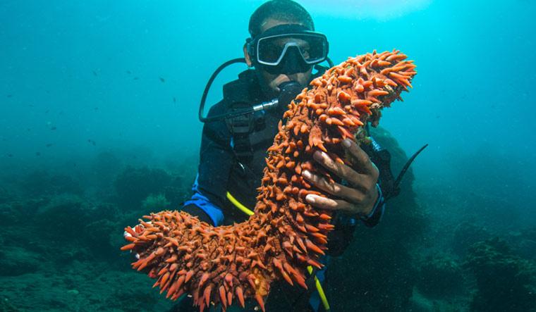 Scuba-diver-holding-up-a-sea-cucumber--Holothuroidea-shut
