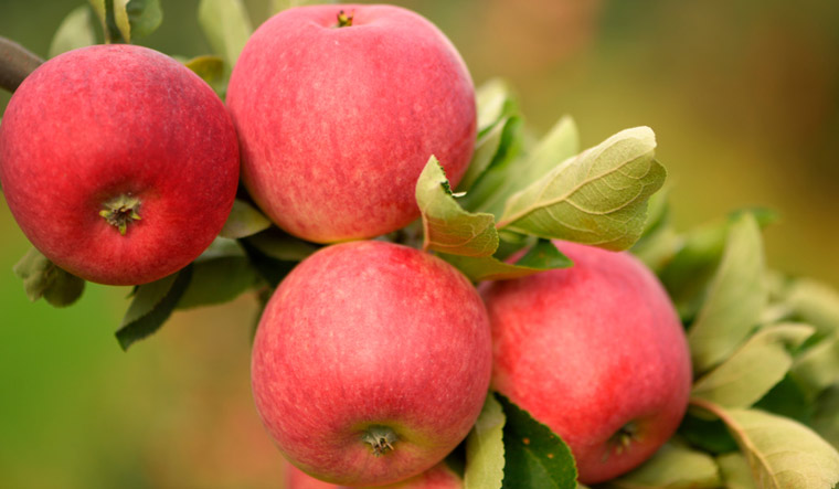 apple-tree-apples-food-fruits-shut
