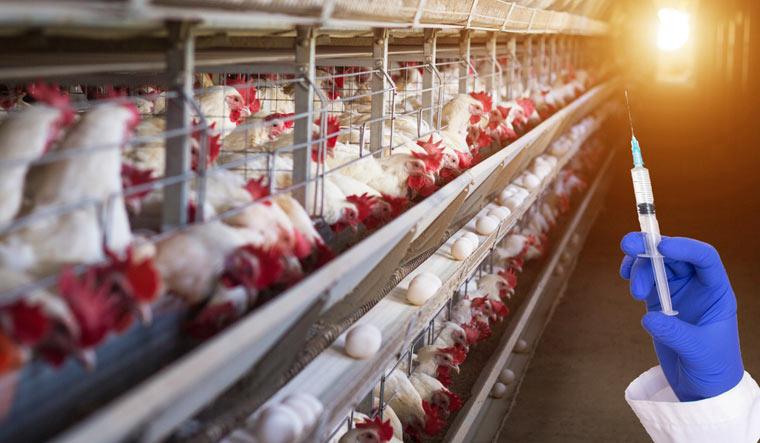 syringe-poultry-farm-antibiotics-hormones-chicken-eggs-meat-shut
