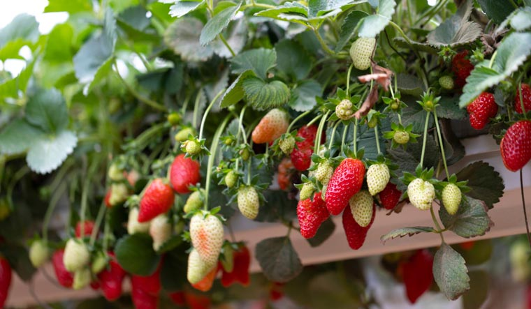Hanging-containers-strawberries-agriculture-Israel-shut