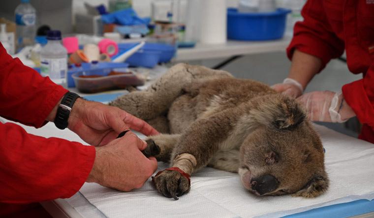 TOPSHOT-AUSTRALIA-FIRES-ANIMALS-KOALA