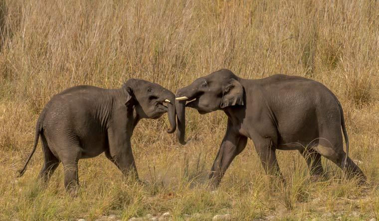 jim-corbett-park-young-elephants-play-fight-shut
