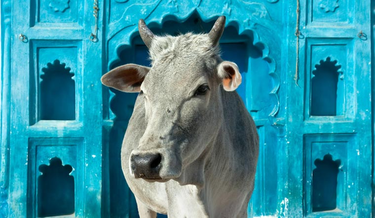holy-cow-Indian-Cow-mother-milk-madhyapradesh-cow-shut