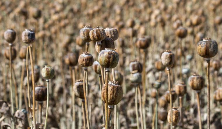 poppy-opium-poppy-pods-dried-field-shut