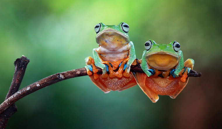 tree-frog-flying-frog-shut