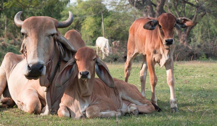 cows-cow-calf-rest-shut