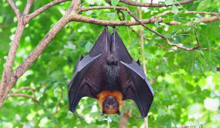 fruit-bat-hanging-on-tree-in-forest--flying-fox-shut