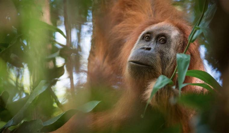 tapanuliensis-orangutan-indonesia-reu