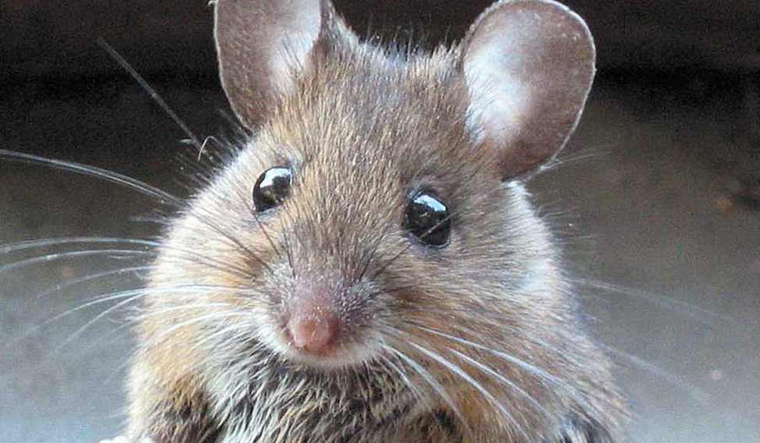 Scientists discover gender-specific brain cells in mice
