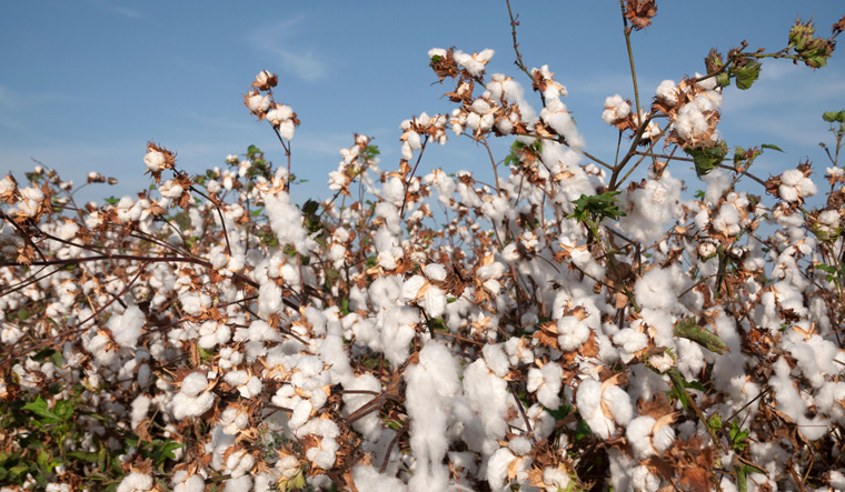 cotton-field-farmer-cotton-shut
