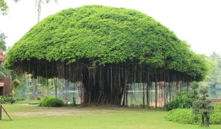 Genomic study brings to light hidden secrets of banyan tree - The Week