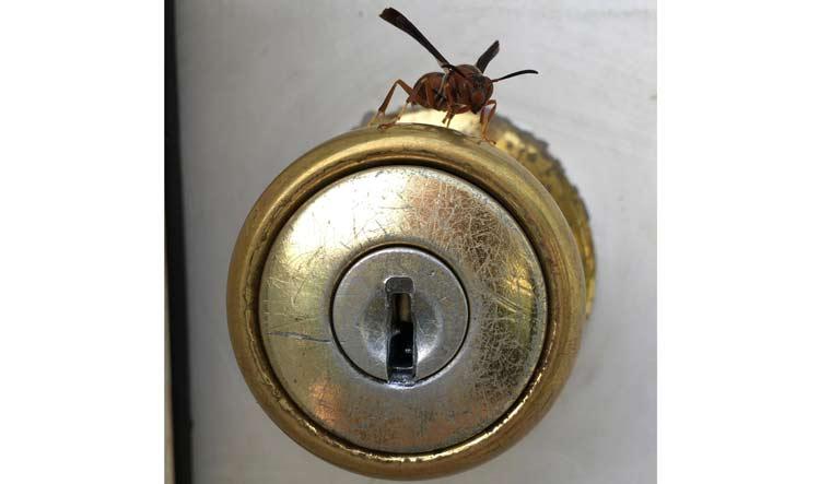 keyhole-wasp