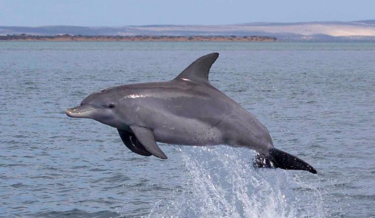 dolphin rep
