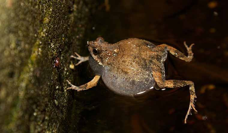 Amphibian foam used for drug delivery for first time